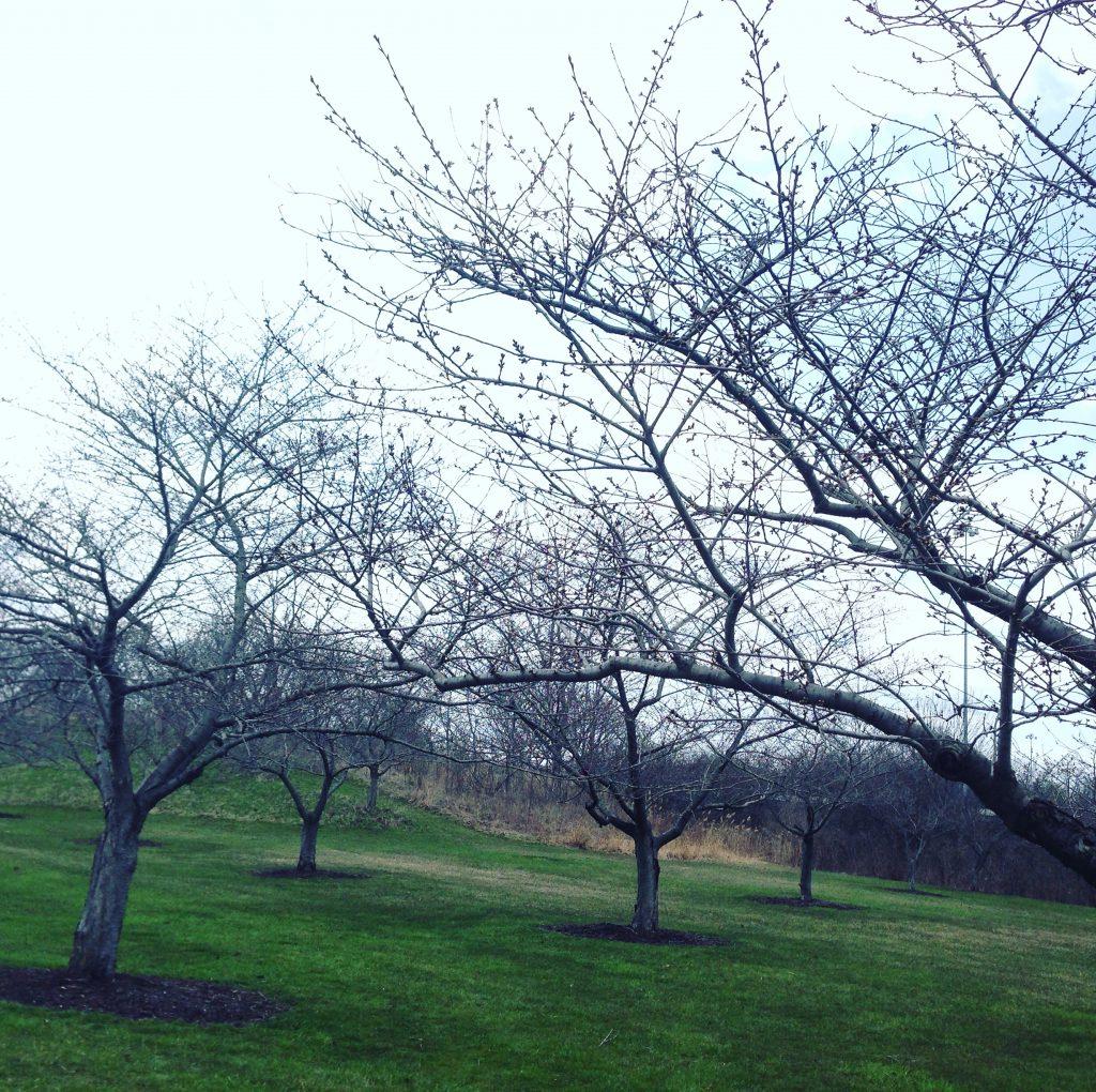 JANO桜植樹基金
