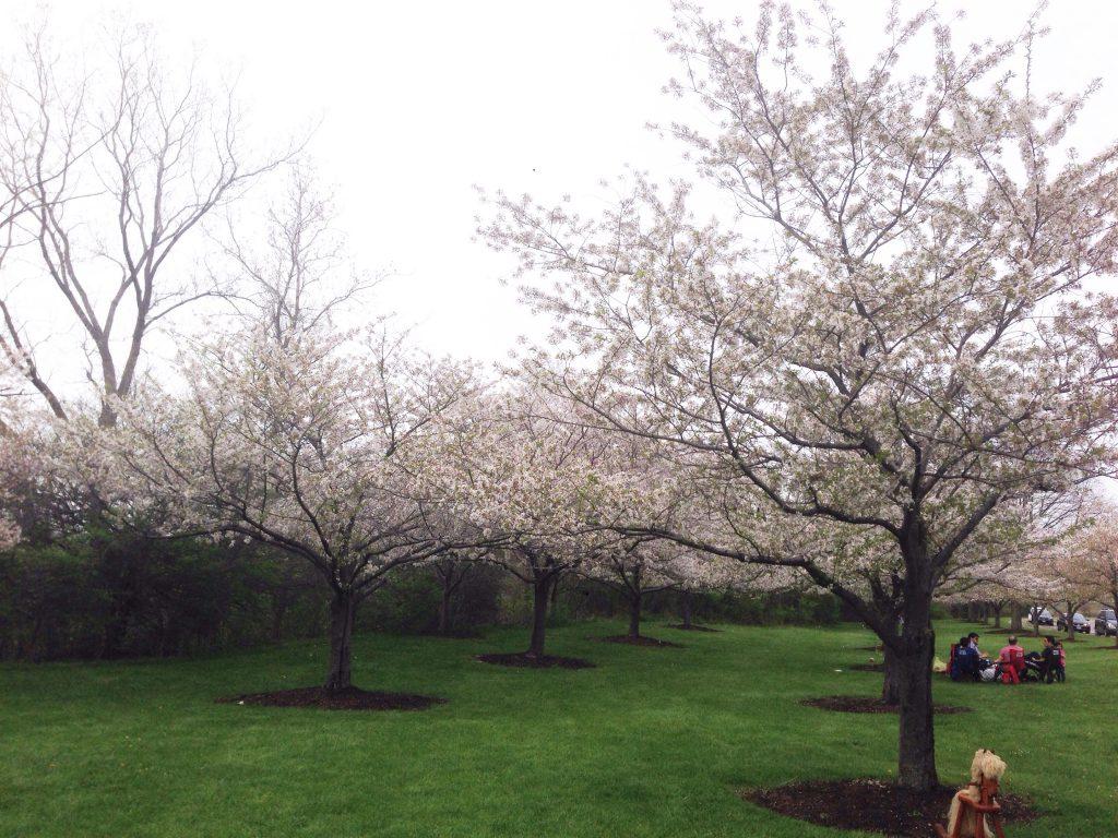 チャリティー桜もち